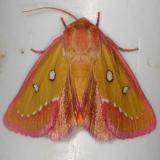 11055-Pink-Star-Moth-Silver-Lake-Cypress-Glenn-Fla-3-18-15-83_opt-1