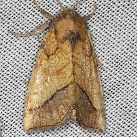 11063 Bordered Sallow Moth Battelle Darby Biggert Rd 8-19-16