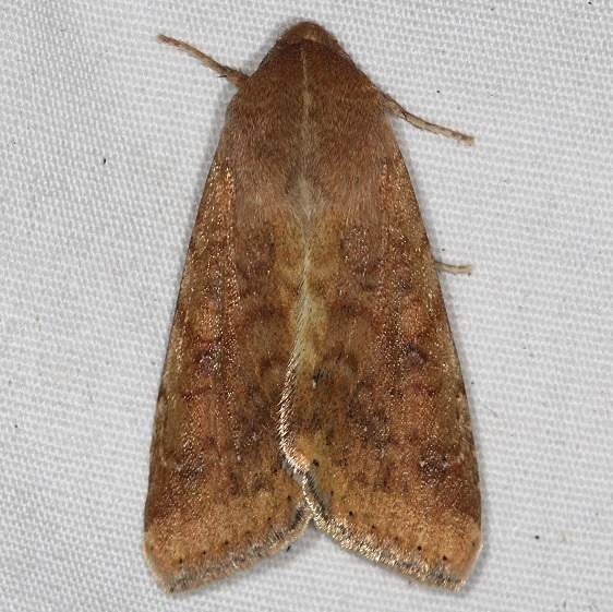 11068 Corn Earworm Moth yard 8-29-15_opt