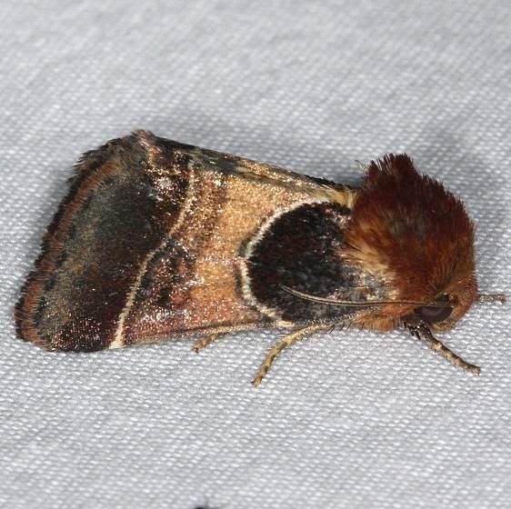11128-Arcigera-Flower-Moth-yard-8-30-14