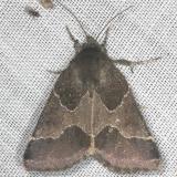 11135-Ragweed-Flower-Moth-yard-8-9-13-20