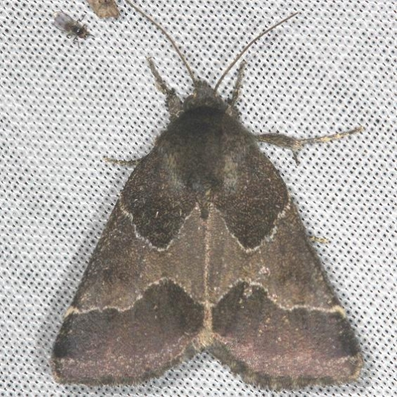11135-Ragweed-Flower-Moth-yard-8-9-13-20