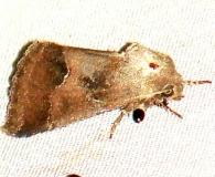 11141-Thoreaus-Flower-Moth-yard-8-1-09