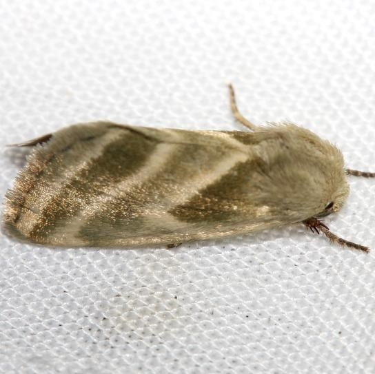 11149-Three-lined-Flower-Moth-yard-8-20-12-19a