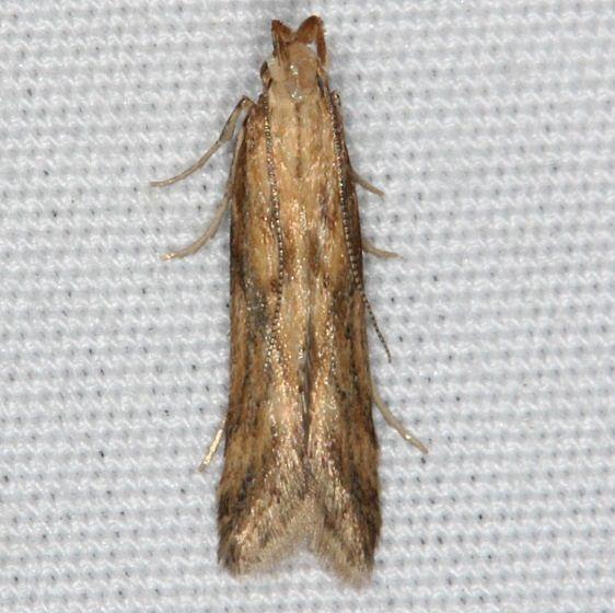 1685 Burdock Seedhead Moth yard 7-21-14