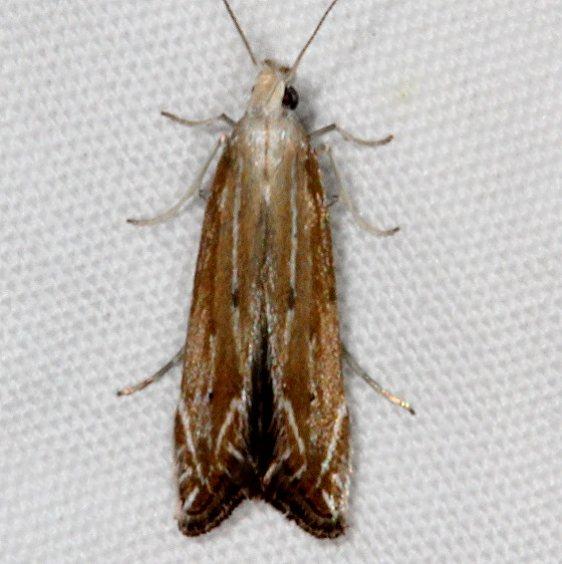 1694 Isophrictis magnella Pine Lake Dixie Natl Forest Utah 5-31-17 (25)_opt