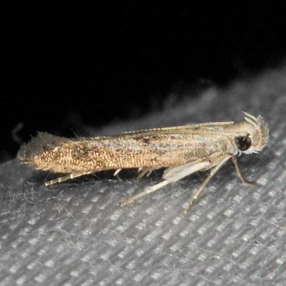 1708.97 Unidentified Monochroa sp yard 7-22-13