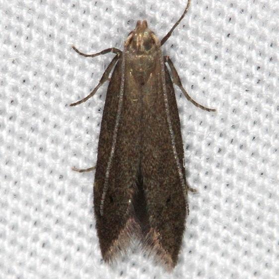 1716.97 Unidentified Monochroa Moth yard 6-16-14