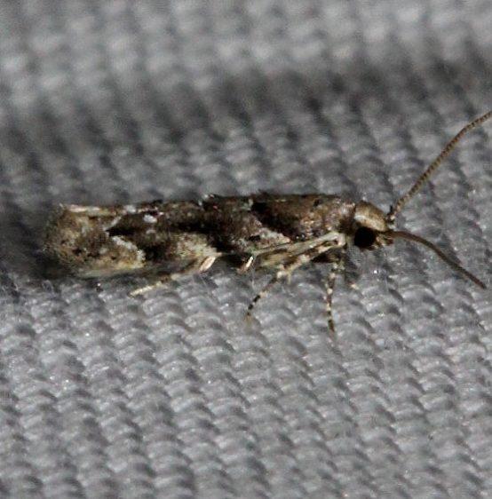 1783 Lesser Bud Moth Kissimmee Prairie St Pk 3-11-13