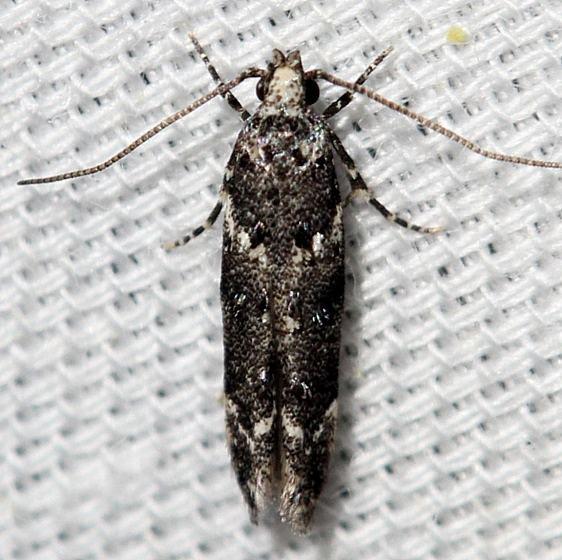 1783 Lesser Bud Moth yard 5-25-12_opt