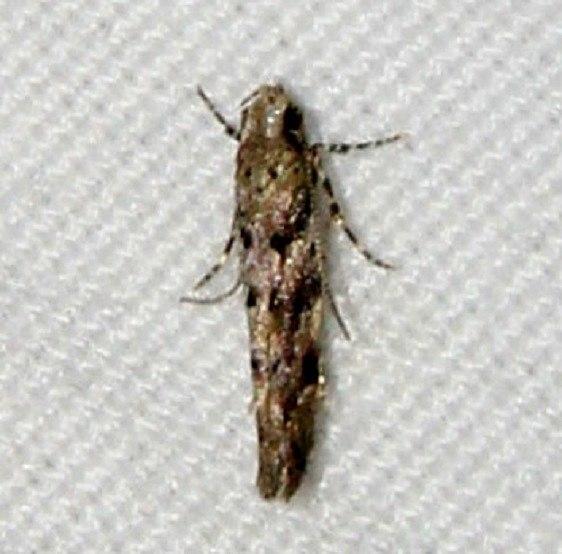 1793 Southern Needleminer Moth Osceola Natl Frt Ocean Pond 3-24-15