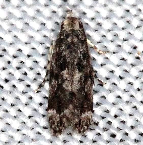 1816 Coleotechnites laricis Collier Seminole St Pk 2-27-14