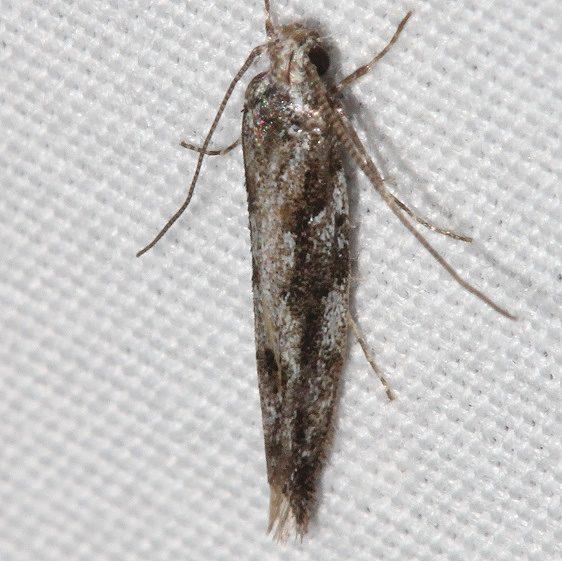 1827.1 Coleotechnites ponderosae tentative BG Mueller St Pk Colorado 6-21-17 (16)_opt