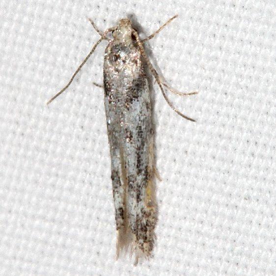 1833.97 BG Unidentified Coleotechnites Moth Mueller St Pk Colorado 6-21-17 (36)_opt