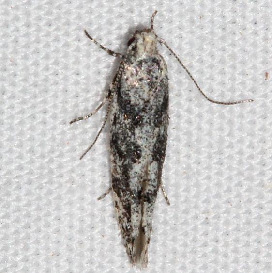 1833.97 Unidentified BG Coleotechnites Moth Colorado National Monument 6-17-17 (34)_opt