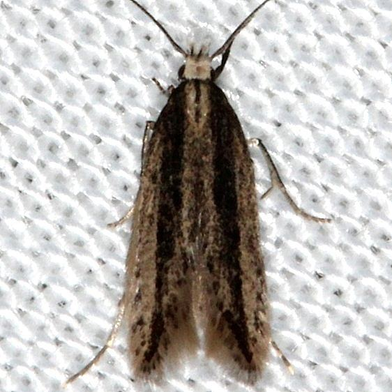 1833.97 Unidentified Coleotechnites Moth Kissimmee Prairie St Pk 2-16-14