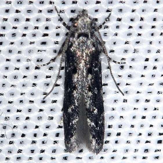 1833.97 Unidentified Coleotechnites Moth Shawnee St Forest 6-14-13