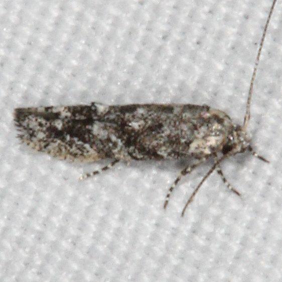 1833.97 Uni1833.97 Unidentified Coleotechnites Moth possibly 1827 Fool Hollow St Pk Ariz 5-24-17