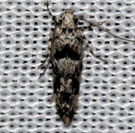 1834.97 Unidentified Sinoe Moth Kissimmee Prairie St Pk 2-14-14