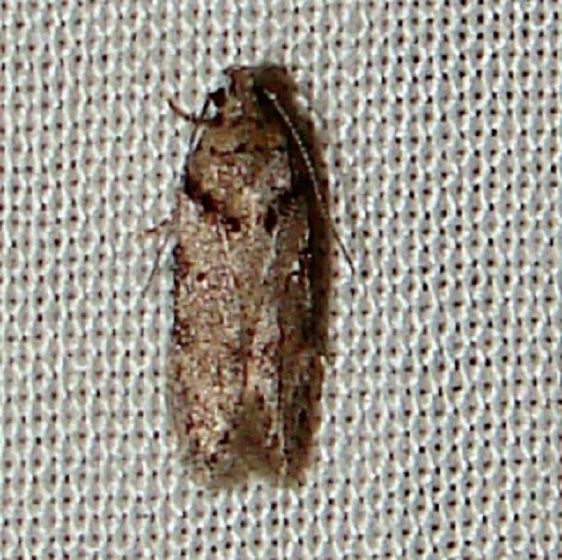 1874 Pseudotelphusa quercinigracella yard 5-21-11