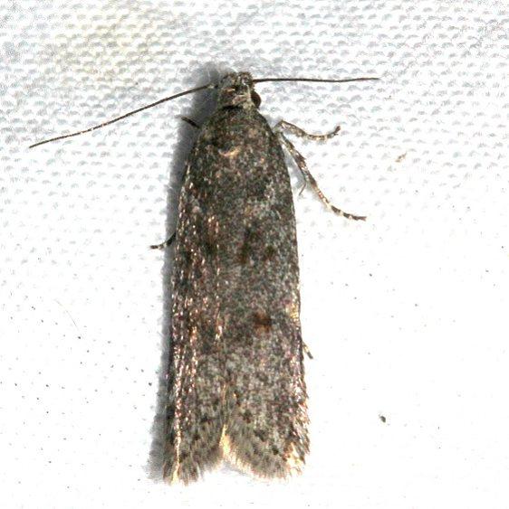 1923.97 Unidentified BG Bryotropha Moth Mueller St Pk Colo 6-19-17