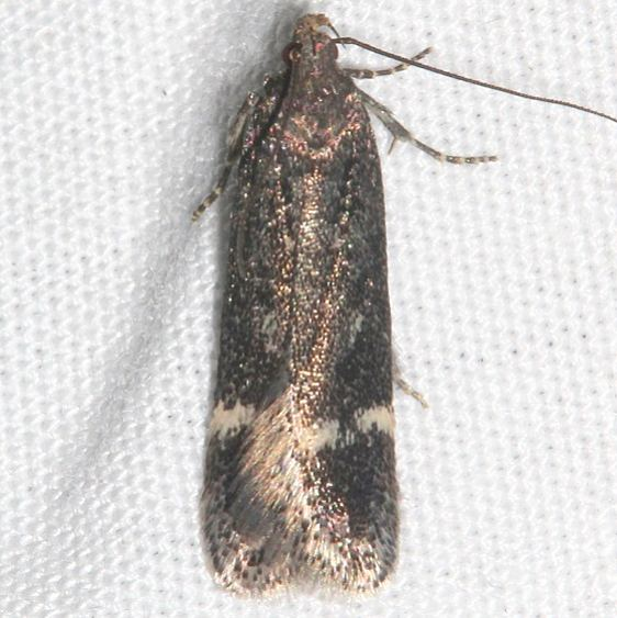 1940 Gelechia dromicella tentative BG tentative Rocky Mountain Natl Pk Colorado 6-22-17 (3)_opt