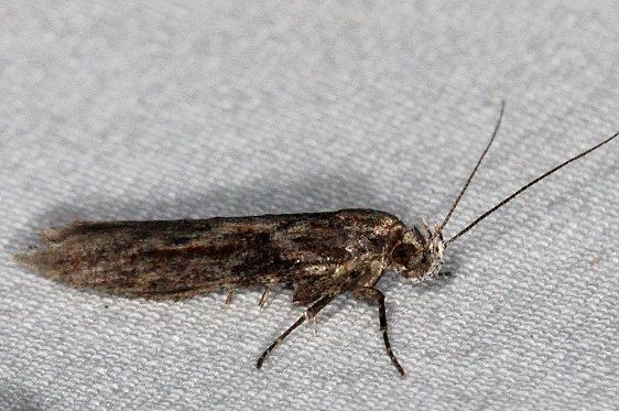 1986 Goldenrod Gall Moth yard 11-4-15