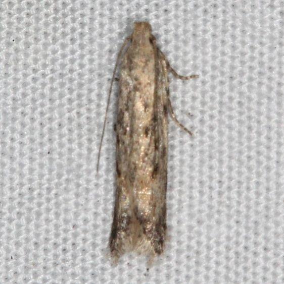 2039.97 BG Unidentified Symmetrischema Moth Favre Dykes State Park Fl 2-18-17_opt (1)