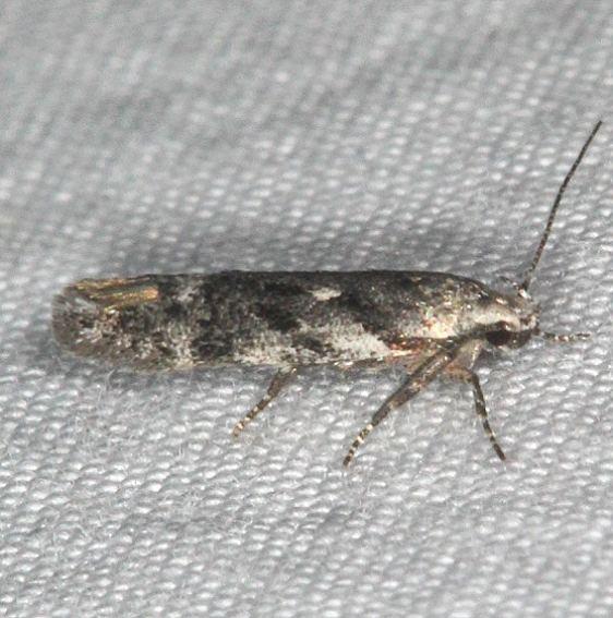 2042.97 Unidentified Caryocolum Moth Thunder Lk UP Mich 6-23-14