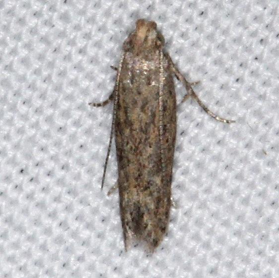 2047 Tomato Pinworm Moth yard 10-8-15