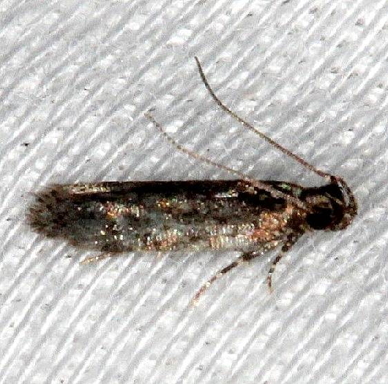 2067.97 Unidentified Chionodes Moth BG NABA Gardens Texas 11-3-13