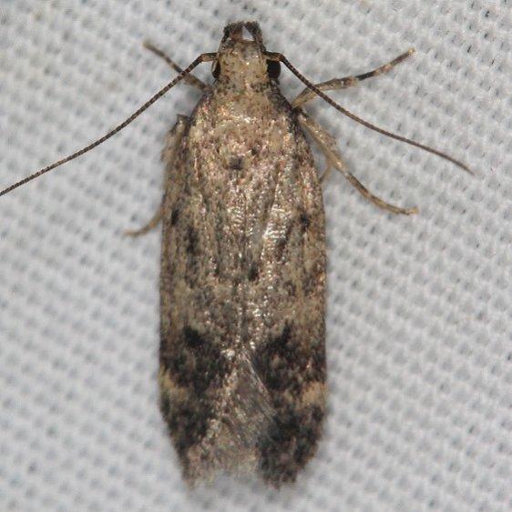 2068 Chionodes chrysopyla tentative Campsite 119 Falcon St Pk Texas 10-28-16_opt