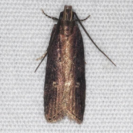 2072 Eyeringed Chionodes Moth yard 8-15-16