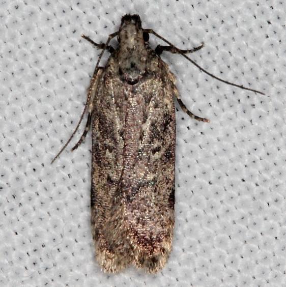 2099 Boxelder Leafworm Moth Copperhead firetower Shawnee St Pk 8-6-16