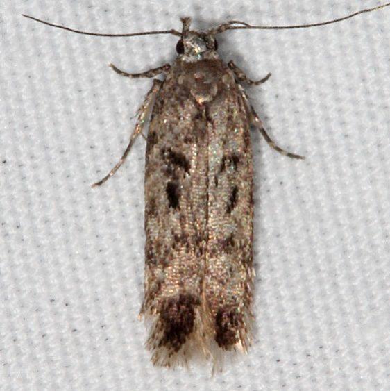 2119 Chionodes thoraceochrella female Fool Hollow Lake StPk Ariz 5-24-17(2)_opt