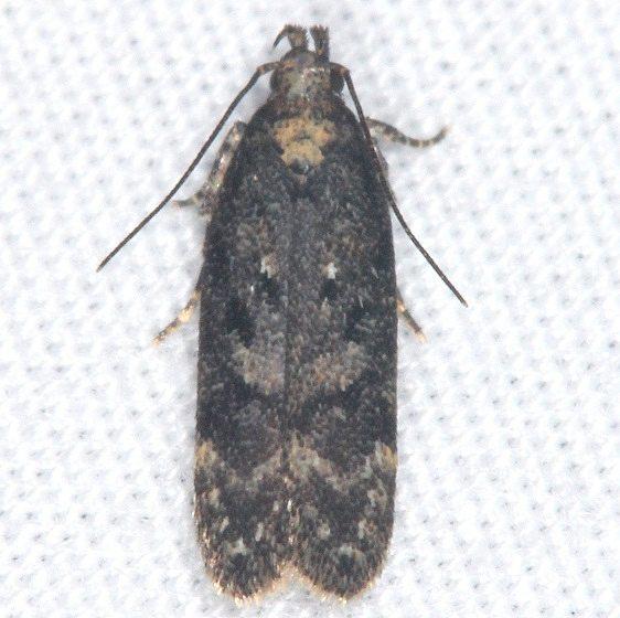 2125.97 Unidentified Chionodes Moth Burr Oak St Pk Oh 6-27-14