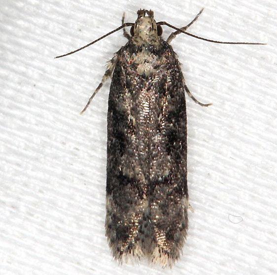 2125.97 Unidentified Chionodes Moth tentative BG Thunder Lake UP Mich 9-27-13 (8)_opt