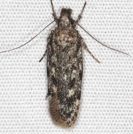 2181.97 Unidentified Filatima Moth Moab RV Resort Moab Utah 6-4-17 (10)_opt