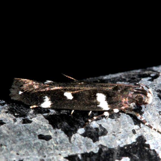 2187 Six-spotted Aroga Moth Kissimmee Prairie St Pk 3-17-13
