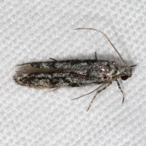 2202.97 BG Unidentified Aroga Moth tentative Fool Hollow1 St Pk Ariz 5-24-17 (34)_opt