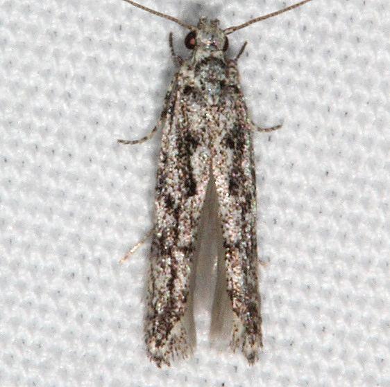 2202.97 BG Unidentified Aroga Moth tentative Fool Hollow1 St Pk Ariz 5-24-17 (36)_opt