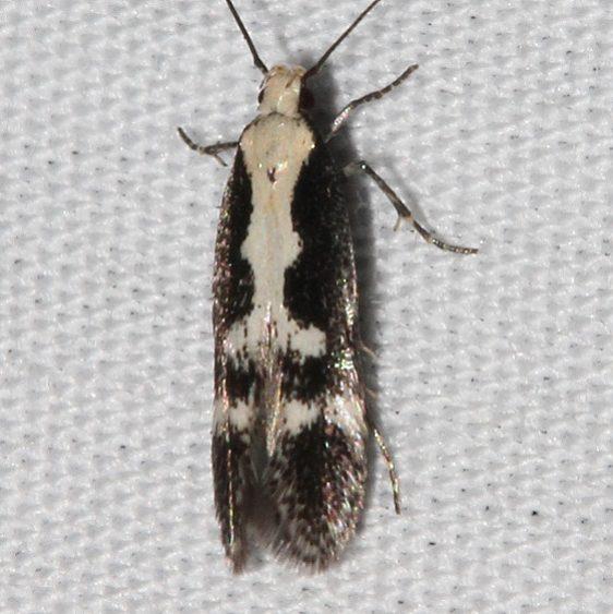 2202.97 Unidentified BG Aroga Moth small only _opt