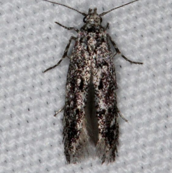 2202.97 Unidentified BG Aroga Moth tentative Devil's Canyon Campground National Forest Utah 6-7-17 (39)_opt