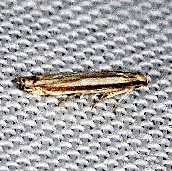 2211 Polyhymno Moth Hidden Lake Everglades 2-18-14