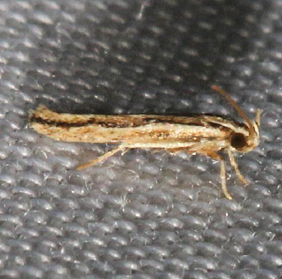 2216 Jane's Ymeldia Moth Mahogany Hammock Everglades Natl Pk 3-10-13