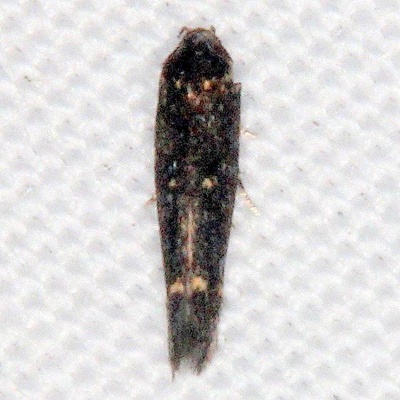 2221.97 BG Unidentified Syncopacma Moth can it be S crotolariella Oscar Scherer St Pk Fl 2-27-17 (3)_opt