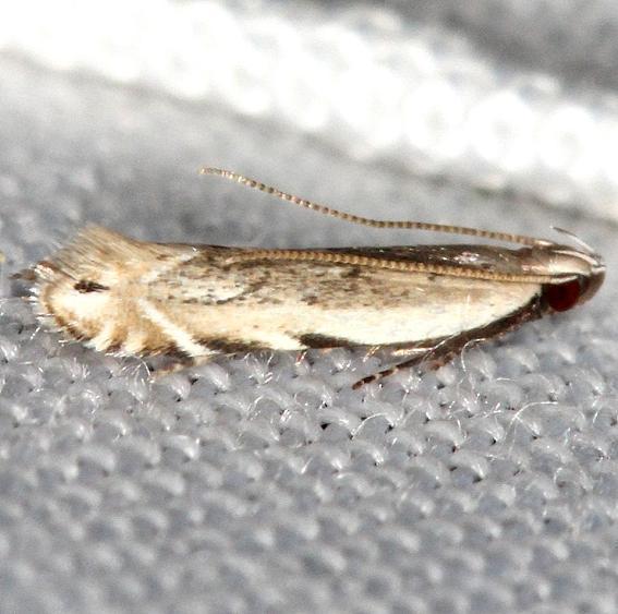 2227 Battaristis nigratomella yard 5-20-13