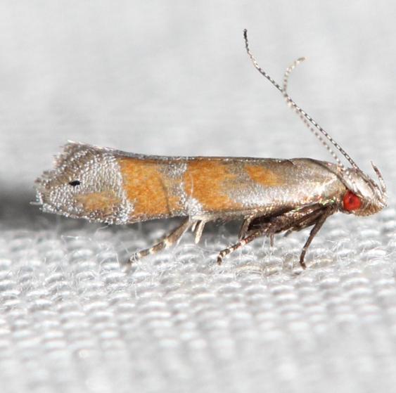2229 Stripe-backed Moth yard 5-26-12