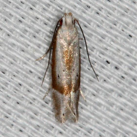 2229.96 Undescribed Battaristis Moth Collier Seminole St Pk 3-1-14