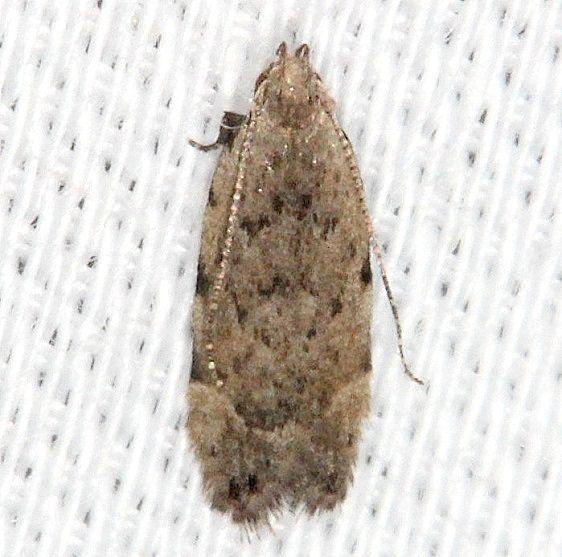 2229.97 Unidentified Battaristis Moth Pineland Everglades 2-18-14
